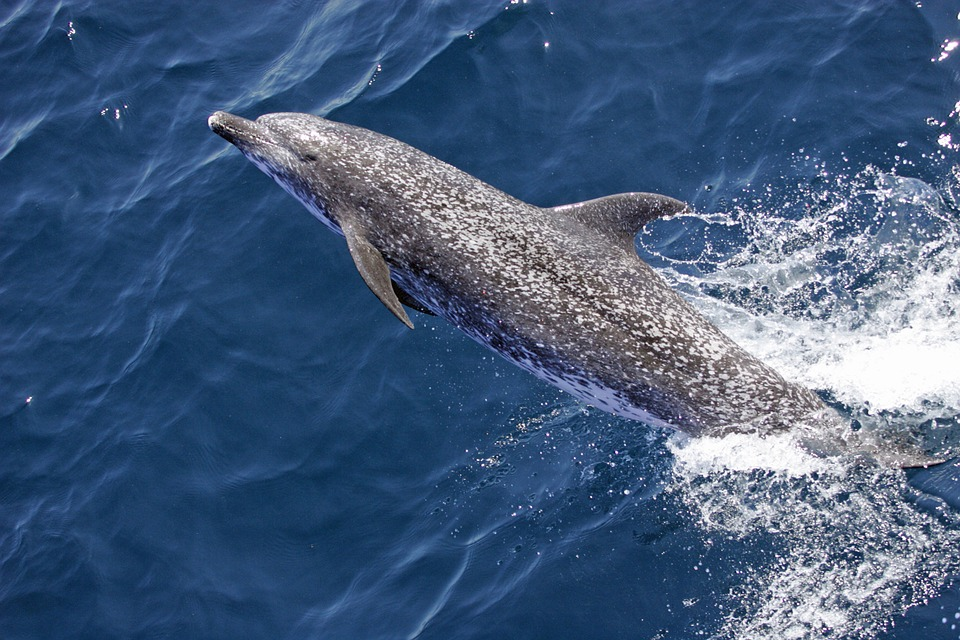 atlantic-spotted-dolphin-590538_960_720